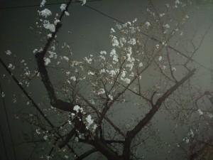 アレクサンダー夜桜